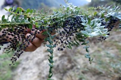 La plante utilisée pour la peinture